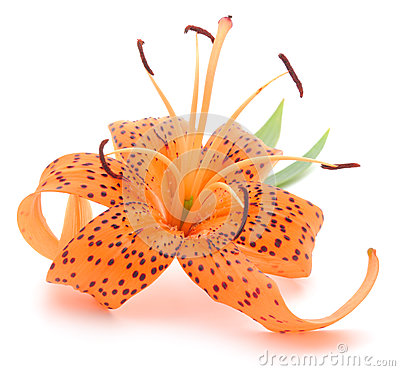 Free Tiger Lily Royalty Free Stock Images - 32649989