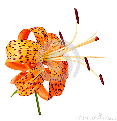 Free Tiger Lily Royalty Free Stock Image - 77974456