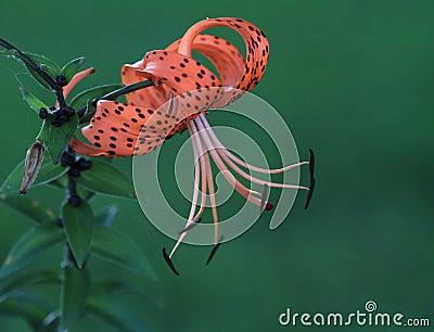 Tiger Lily or Lilium superbum in Full Bloom