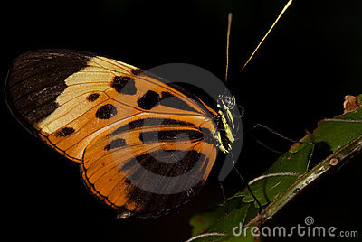 Tiger Longwing Buttefly