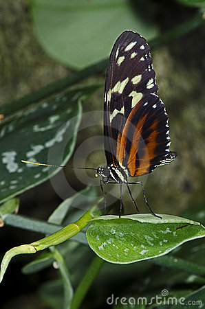 Free Tiger Longwing Butterfly Stock Photo - 18532530
