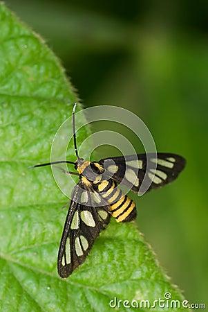 Tiger Moth Macro