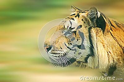 Tiger motion