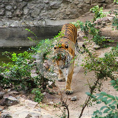 Free Tiger On A Walk In The Aviary Stock Images - 132568814