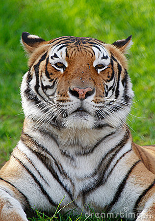Free Tiger On Grass Stock Photos - 697623