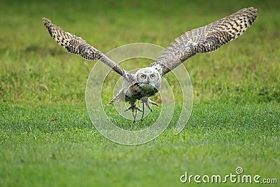Tiger owl