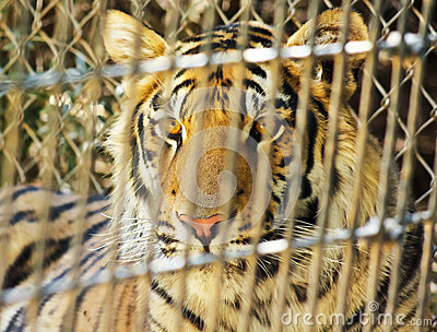 A Tiger Peers Out from its Enclosure