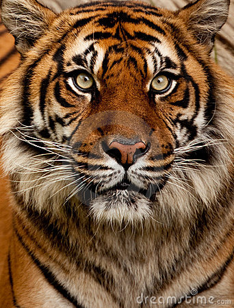 Free Tiger Portrait Royalty Free Stock Photography - 13826707
