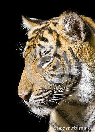 Tiger - portrait