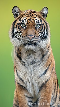 Free Tiger Portrait With A Green Background Stock Photo - 104817030