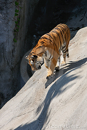 Tiger Prowling on Rock