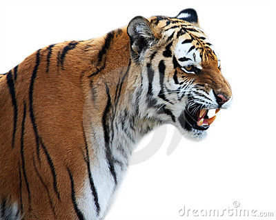 Tiger Roaring Side View - photo#3