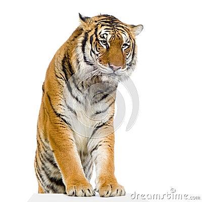 Tiger s posing