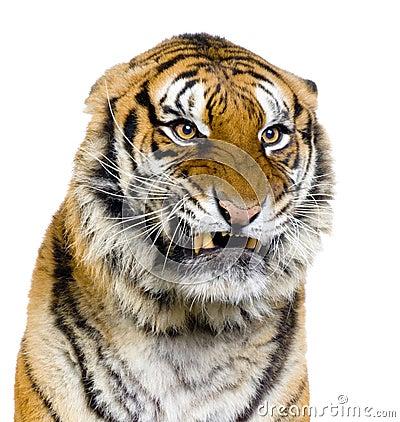 Tiger s Snarling