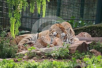 Tiger in a safari zoo