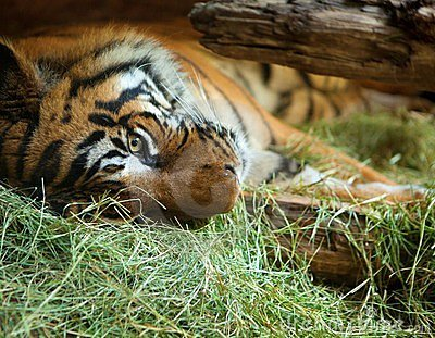 Tiger in San Diego zoo. Editorial Photo