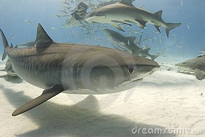 Tiger Shark with Frenzy 2