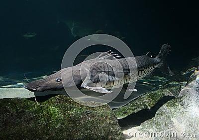 Tiger shovel-nosed catfish, Barred sorubim Stock Images