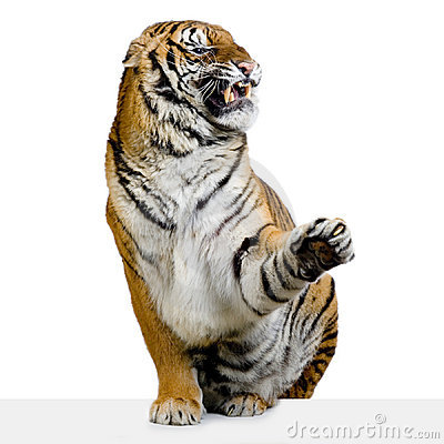 Free Tiger Snarling Royalty Free Stock Photo - 2330285