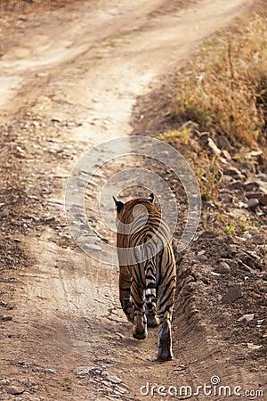 Tiger på kringstrykandet.