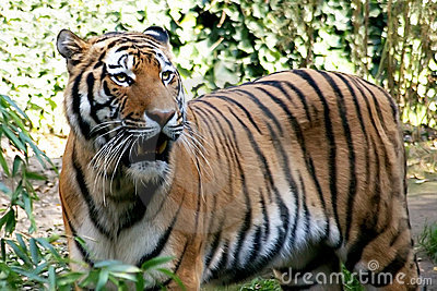 Tiger spotted in thicket