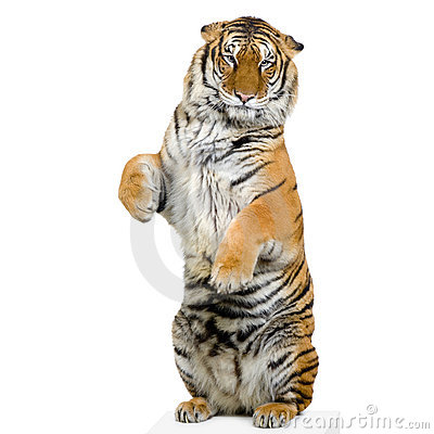 Free Tiger Standing Up Stock Photos - 2238223