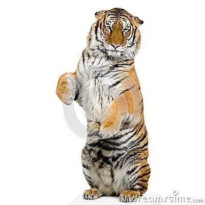 Tiger glass