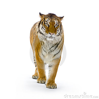 Free Tiger Standing Up Stock Image - 2284961