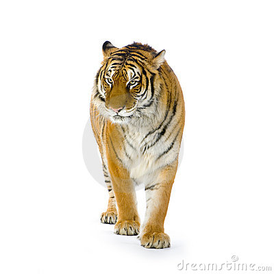 Tiger standing up