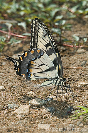 The tiger swallow-tail butterfly.