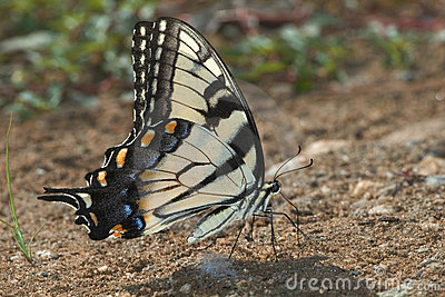 Tiger swallow-tail butterfly  (Papilio glaucas)