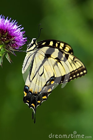 Tiger Swallowtail Butterfly (Papilionidae)