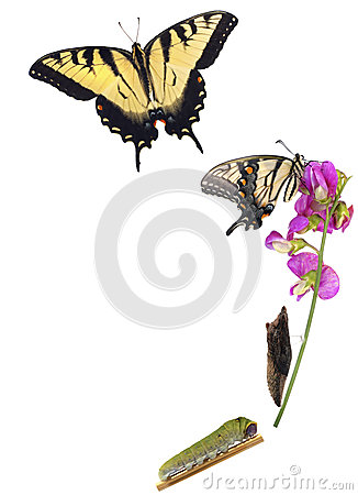 Free Tiger Swallowtail Metamorphosis Royalty Free Stock Image - 27046966