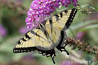 Tiger Swallowtail (papilio glaucas)
