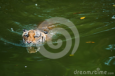 Tiger swimming in pond
