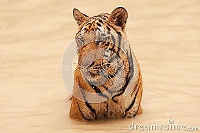 Tiger take bath