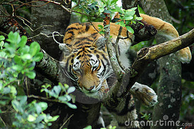 Tiger in tree