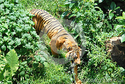 Tiger in the underbrush