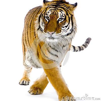Free Tiger Walking Royalty Free Stock Images - 2253629