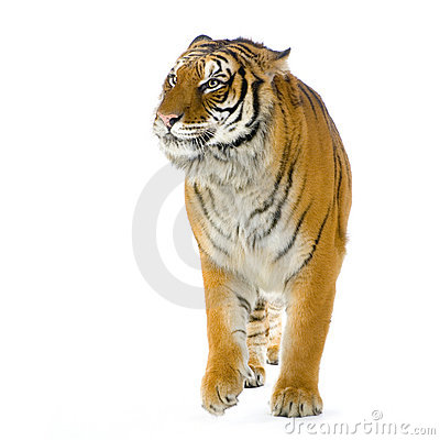 Free Tiger Walking Royalty Free Stock Photography - 2297667