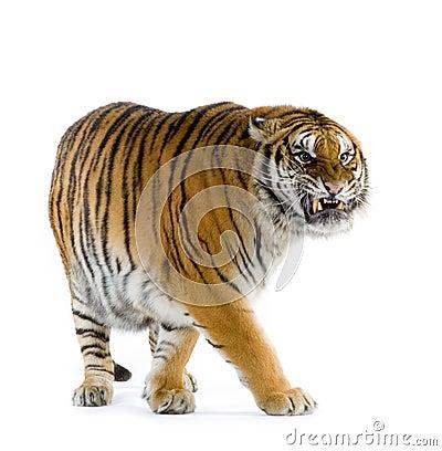 Free Tiger Walking Stock Photos - 2321223