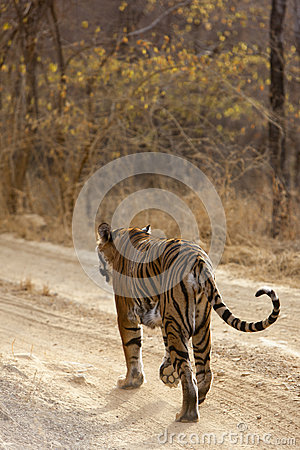 Tiger on the prowl.