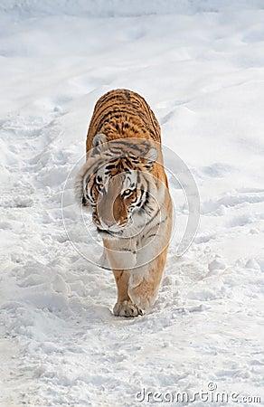 Tiger walks on the snow