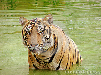 Tiger in a water