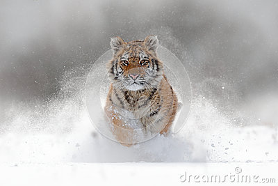 Tiger in wild winter nature. Amur tiger running in the snow. Action wildlife scene with danger animal. Cold winter in tajga, Russ Stock Photo