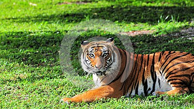 Tiger in zoo watching