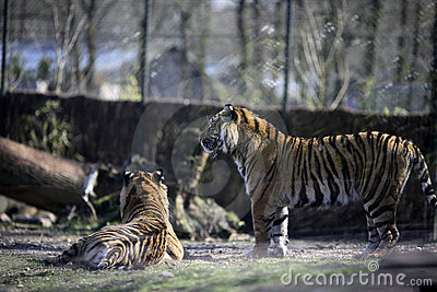 Tigers in captivity