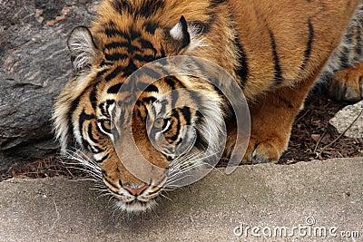 Tigre accovacciantesi