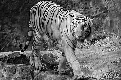 Tigre blanc sur le vagabondage