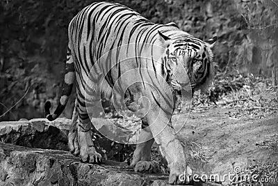 Tigre blanco en el vagabundeo